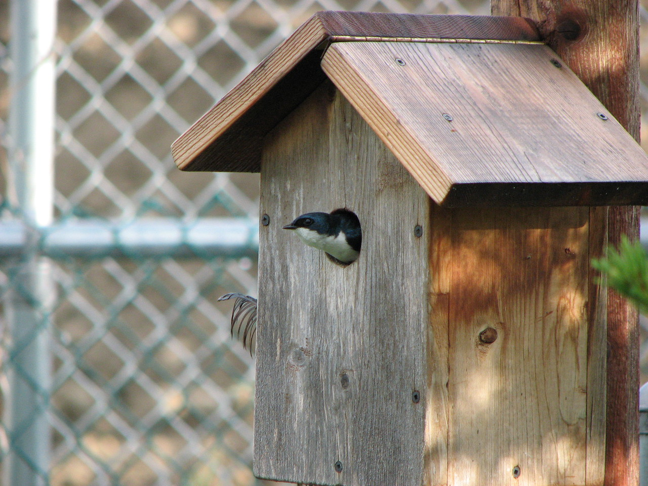 Our Tree Swallows