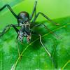 Myrmarachne Ant-Mimicking Jumping Spiders 09371