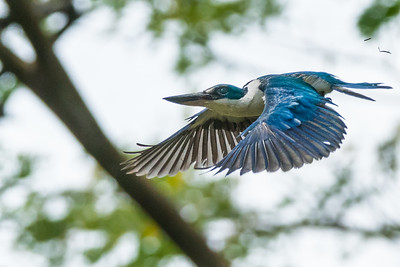 White-collared Kingfisher in flight