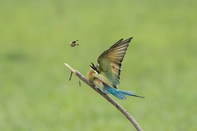 Blue-tailed Bee Eater