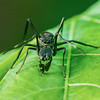 Ant-Mimicking Jumping Spiders 9404