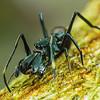 Myrmarachne Ant-Mimicking Jumping Spiders 09441