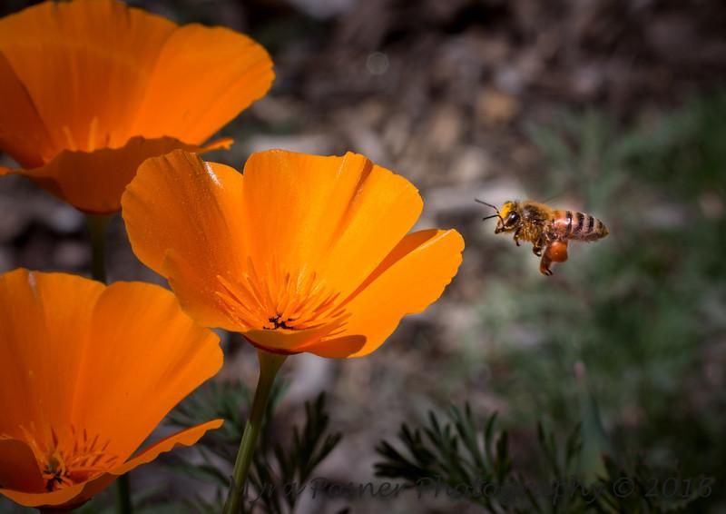 Bee Visiting California Poppies