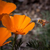 Bee Visiting California Poppies