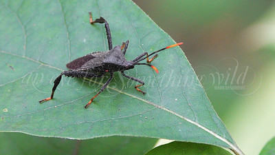 Light-tipped Leaf-footed Bug