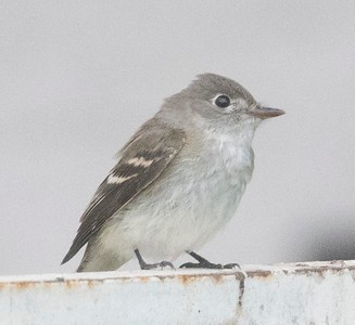 Least Flycatcher 9-26-18