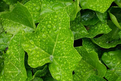 Drops_On_Ivy_134