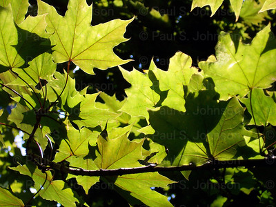 Maple_Leaves_003