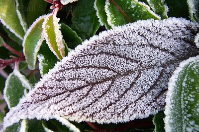 Frosty_Leaves_016