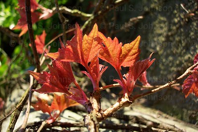 Ivy_Leaves_111