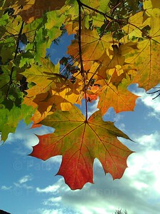 Fall_Leaves_wp804