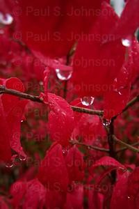 Red_Leaves_005