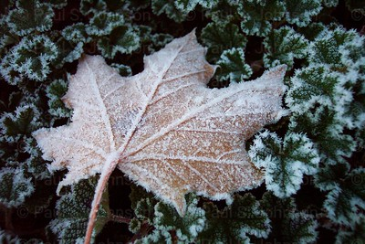 Frosty_Leaves_018