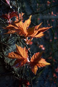 Ivy_Leaves_108