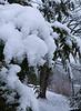 Snowy Spruce 12/12/2010