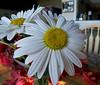Daisy up close 10/10/10