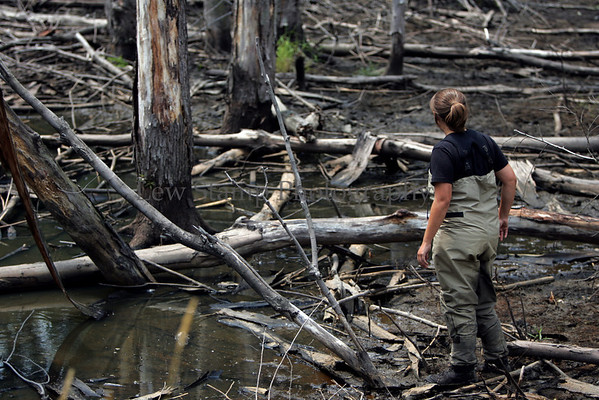 Kim Vogel, an Ohio EPA intern examines the dead trees in wetland site considered much less successful is the Crossings at Golden Links at State Route 8 and State Route 82 Tuesday, July 24, 2007, in Macedonia, Ohio.  (Lew Stamp/Akron Beacon Journal) Not for sale