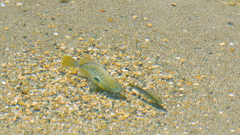 "Redbreast Sunfish ""Nest"" Tending"