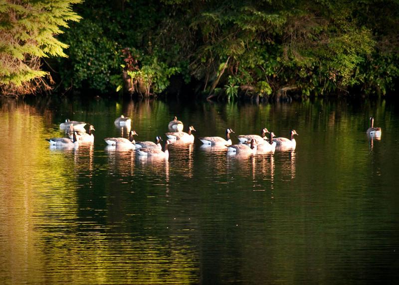Reservoir Geese-73