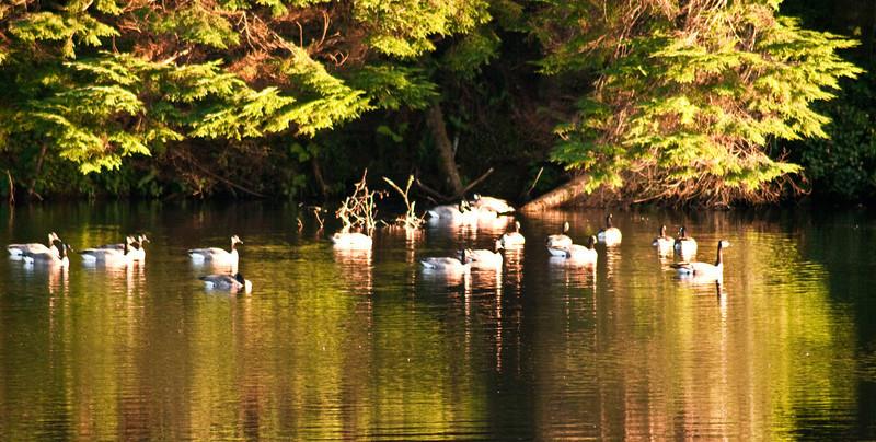 Reservoir Geese-70