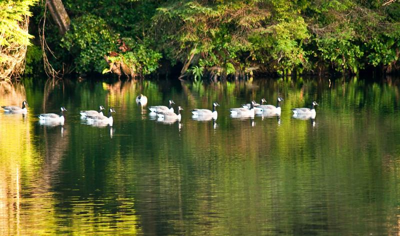 Reservoir Geese-81