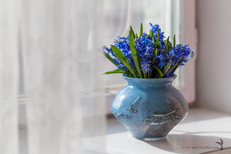 Squill bouquet on the window 03