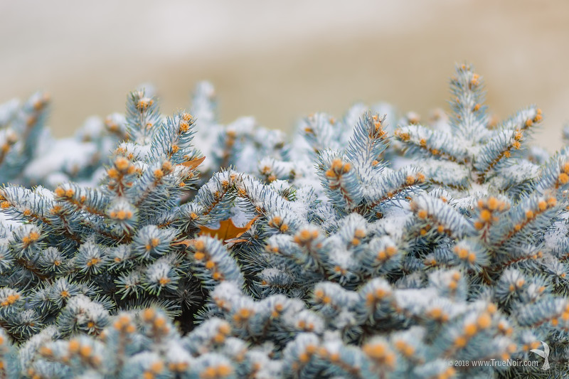 Snow powder on dwarf juniper bush, winter photography