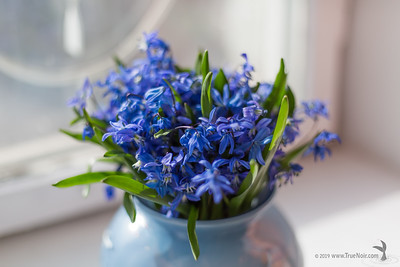Squill bouquet on the window 02
