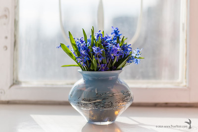 Squill bouquet on the window 05
