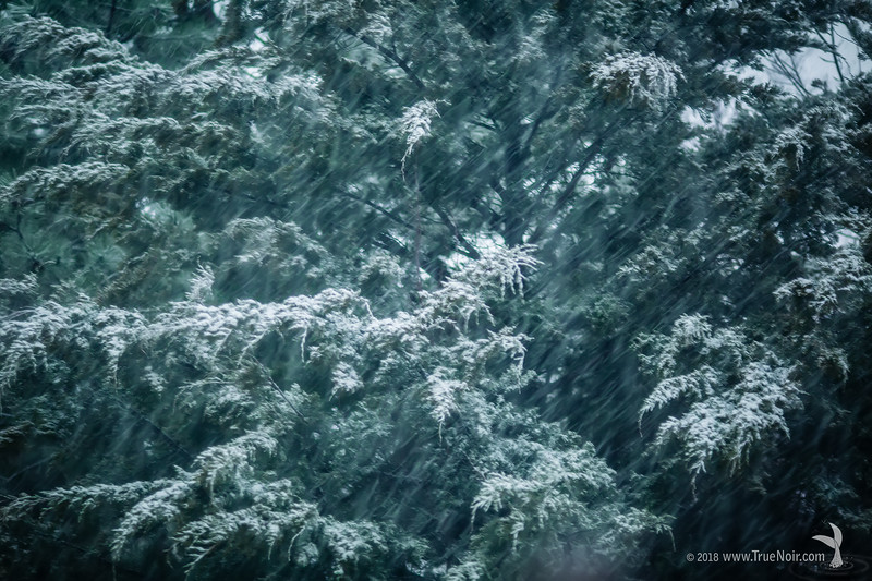 Evergreen in snowstorm, winter photography