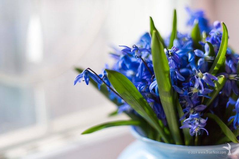 Squill bouquet on the window 01