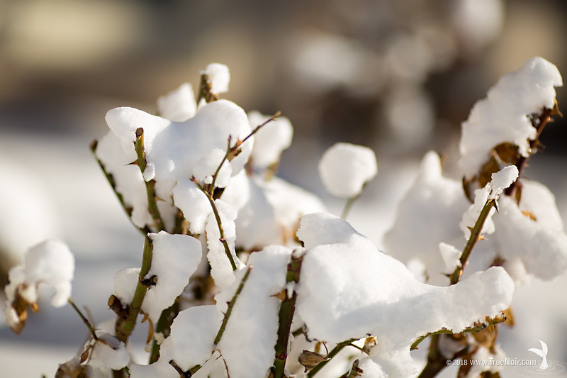 Cotton candy, photograph of snow covered branches