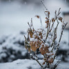 Snow and rose bush, winter photography