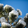 White wigs, photograph of Pine tree in the snow