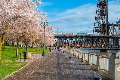 Portland Waterfront Blossoming