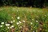 field of flowers along Hwy 290 near Brenham, TX