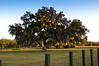 One of our Oak trees