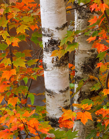 Birches and Maple Leaves