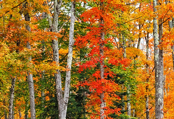 Assorted Maples in Sugar Hill, NH