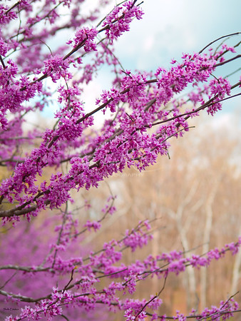 Redbud and Birches