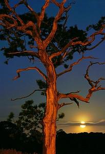 Harvest Moon & Tree between Loans & Troon 2006