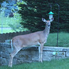 Our neighbors across the street, front yard visitor.