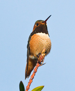 Allen's Hummingbird Nestor 12-18-09.  This species is beginning to winter in San Diego County.  This fine male was seen in the same yard and day as 3 orchard orioles, 2 Bullock's orioles, a yellow warbler, and a black-headed grosbeak.  By all rights these birds should have been far away in Mexico or Central America.  To top it off, a verdin was seen.  Verdins disappeared from coastal San Diego County 30 years ago.