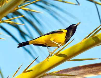 Scott's Oriole - Small numbers of this oriole are year-round residents of San Diego County.  Recently, orchard orioles, Bullock's orioles and hooded orioles have been noted in winter.