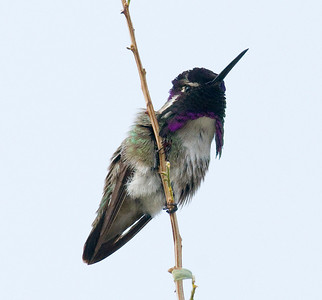 Costa's Hummingbird - Borrego Springs 12-20-09.  A species that often winters in San Diego County.  Easily found at the visitor's center at the Anza-Borrego State Park HQ.