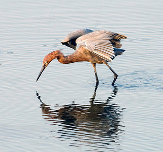 Reddish Egret in the San Diego River Estuary.