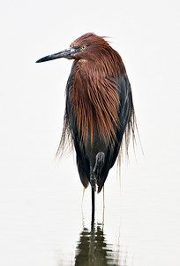Reddish Egret ~ Imperial Beach 2009