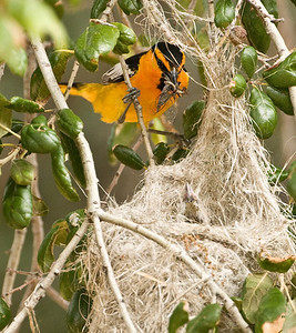 Bullock's Oriole - male ~ Kitchen Creek 2008