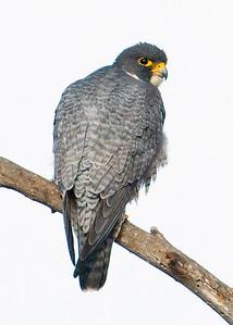 Peregrine Falcon  Rancho Santa Fe 12-28-09