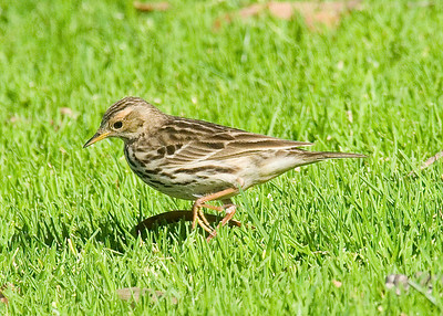 Red-throated Pipit.  Berry Park - Nestor - 1-16-10.  1st record of this bird in US or Canada for January.